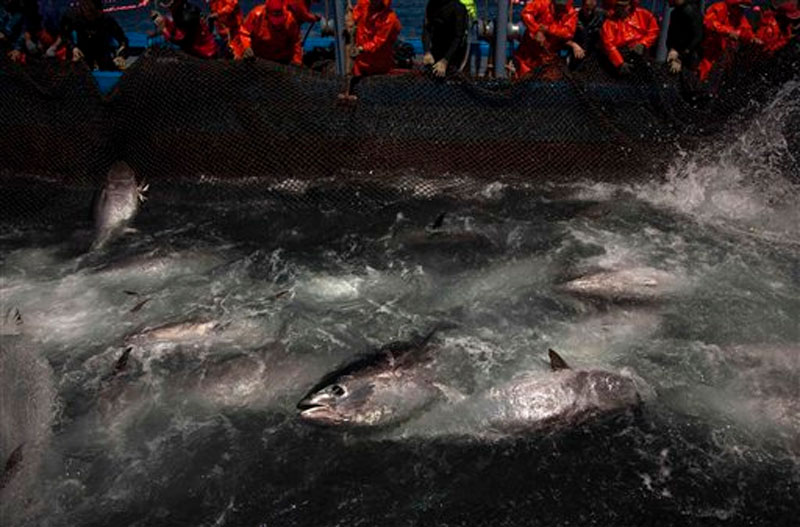 Atlantic bluefin tuna are surrounded by fishing nets during the opening of the season for tuna fishing off the coast of Barbate, Cadiz province, southern Spain on Wednesday, April 27, 2011. Photo: AP