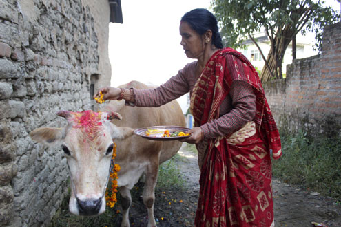 A woman garlanding a cow to observe Gai Tiharu201a as part of the five-day-long Tihar celebrationsu201a in Syuchatar. Photo: THT/ File