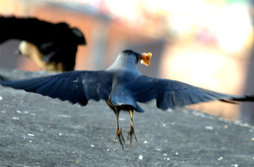 FILE: A crow scavenges for food in Chabahil, Kathmandu on the first day of Tihar festivities when crows are worshipped as messengers of human beings, on Thursday, November 4, 2010. Photo: Rajesh Gurung/THT