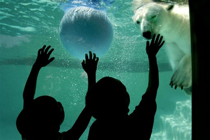 Children visiting the Philadelphia Zoo try to get the attention of Klondike, one of the zoo's two polar bears, as she plays with a ball in the pool of her enclosure  on June 24, 2005. File photo: AP
