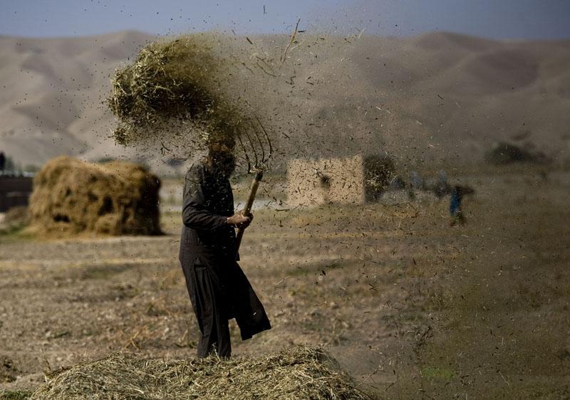 An Afghan farmer threshes hay in Sangin, Afghanistan on November 5, 2010. Photo: AP
