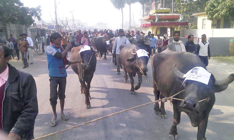 A buffalo rally taken out by Federal Inclusive Madhesi Alliance (FIMA) in Gaur, district headquarters of Rautahat district on Sunday, December 27, 2015. Photo: Prabhat Kumar Jha