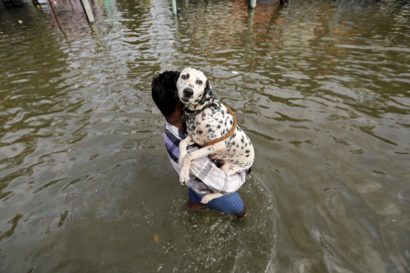 A man carries a dog as he wades through a flooded street in Chennai, in the southern state of Tamil Nadu, India, December 3, 2015. Photo: Reuters