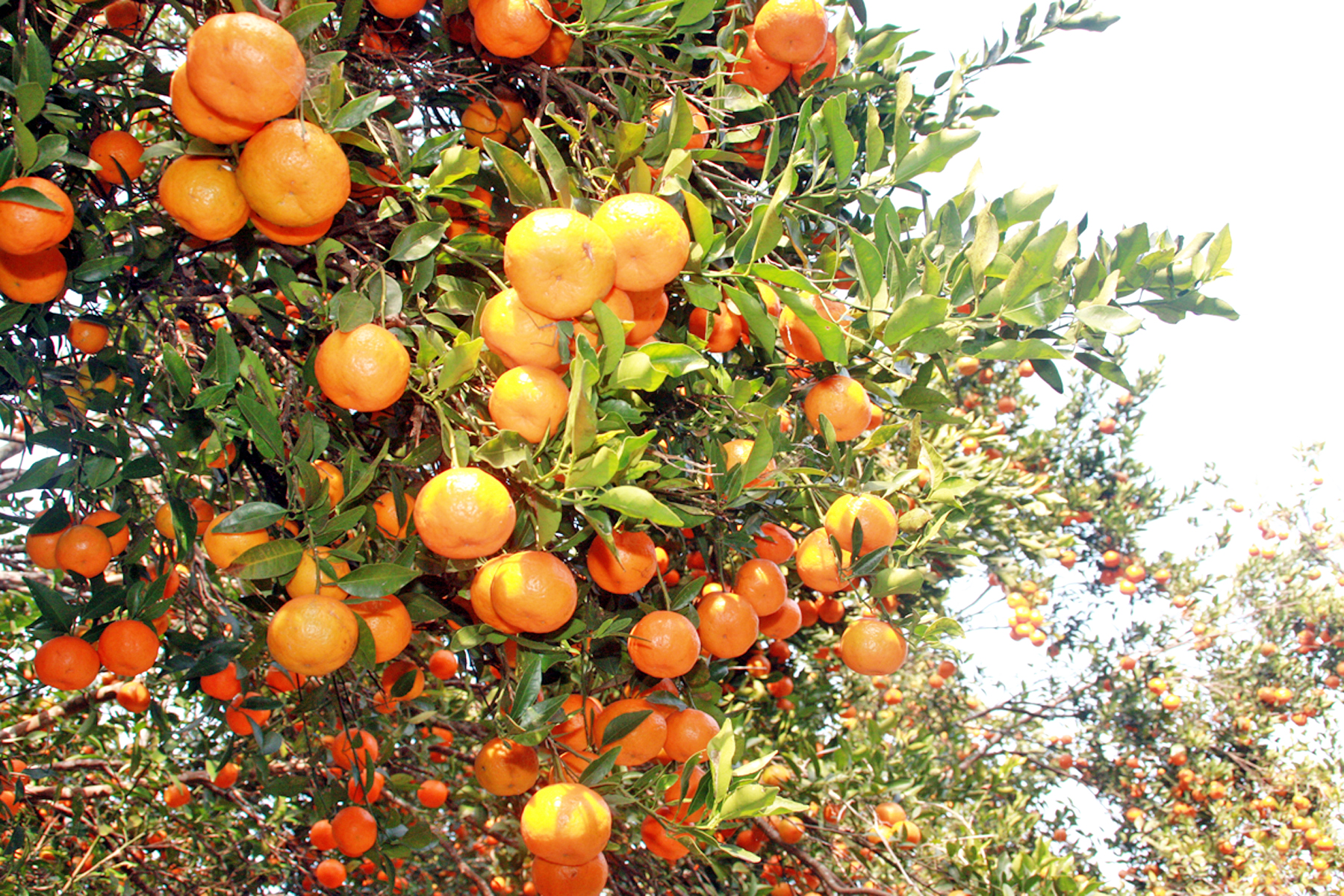 Ripe oranges in Darechok Tamin of Chitwan district have changed the life of farmers after the area was declared an orange pocket area, on Thursday, December 24, 2015. Photo: RSS
