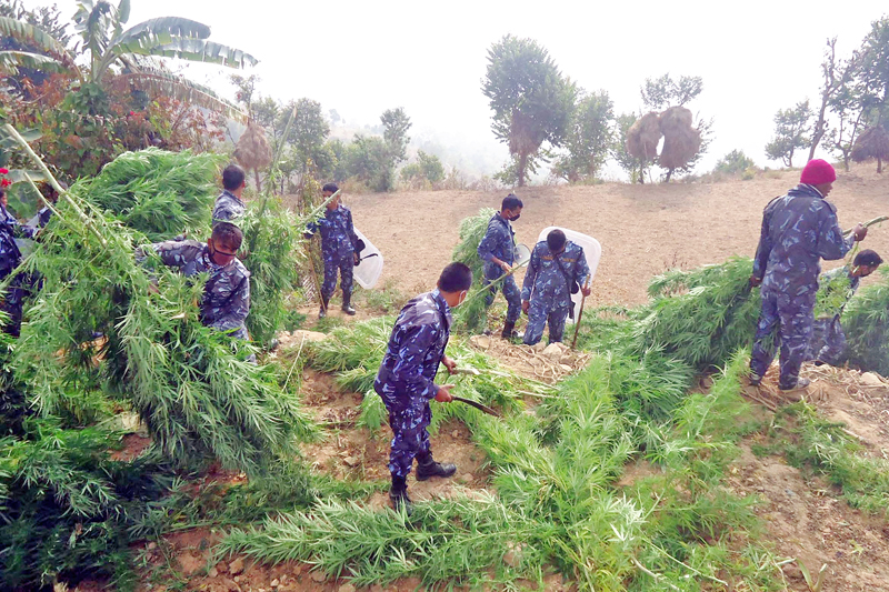Security personnel of Khotang District Police Office destroy cannabis planted illegally by the locals in Durchim VDC of Khotang district on Monday, December 21, 2015. Photo: RSS