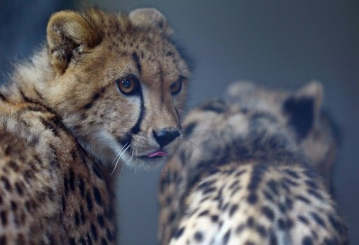 Two 9-month old Cheetahs are seen after they were released into a quarantine facility at Zoo Miami in Miami, Florida, on November 29, 2012. Photo: AFP/ File