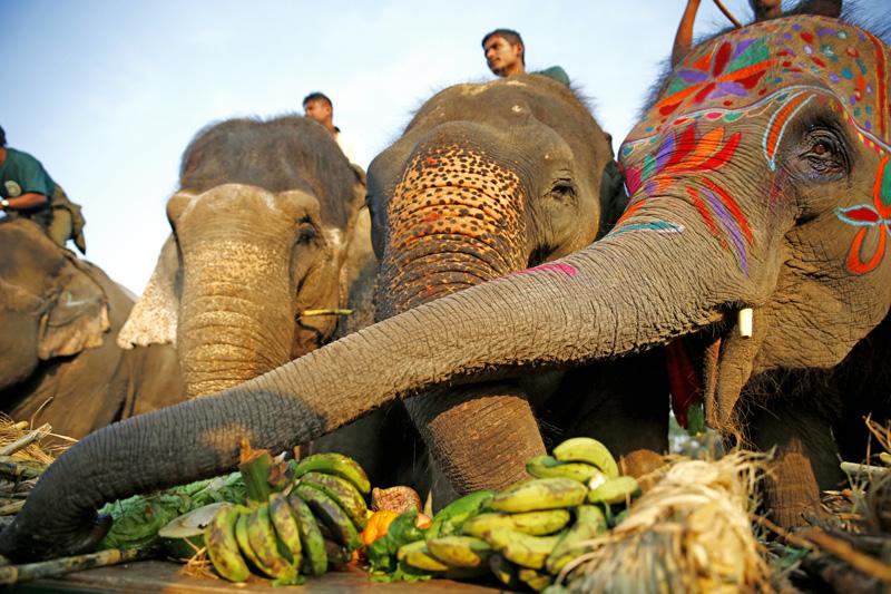 Picnic Time: Elephants savouring bananas at a picnic organised for them in Sauraha of Chitwan, on Monday, December 28, 2015. Photo: Skanda Gautam/THT