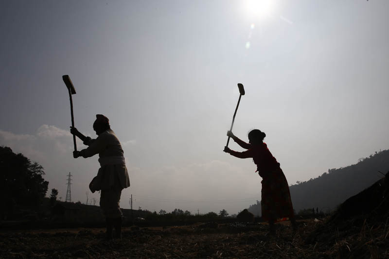 Farmers busy in their work in a paddy field in Khokana, Lalitpur on December 19, 2015, Saturday. In Nepal, the national economy is dominated by agriculture. Photo: Skanda Gautam