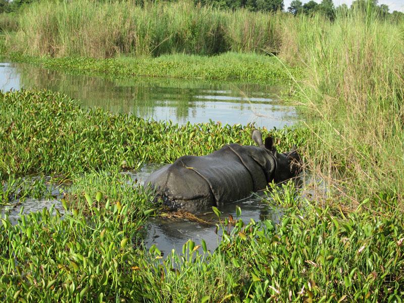 File- A rhinoceros in Chitwan National Park