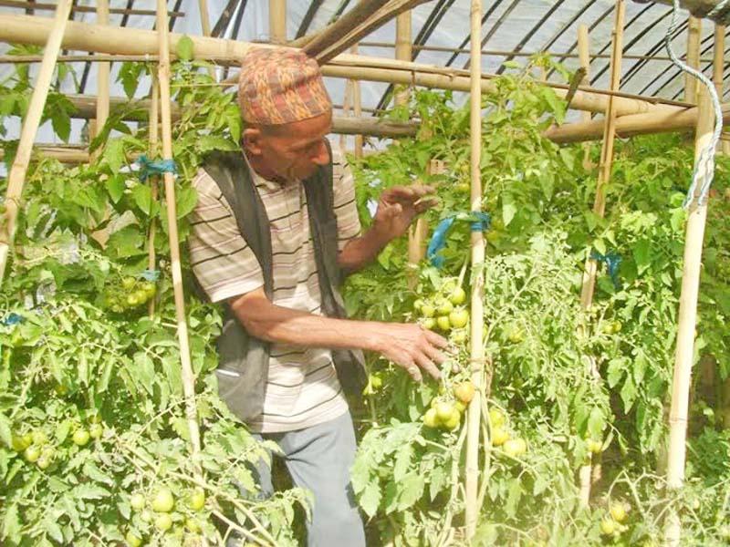 Tikaram Adhikari, a farmer in Nagi VDC, cultivating the tomatoes in Panchthar district, on Sunday, December 20, 2015. Photo: Laxmi Gautam