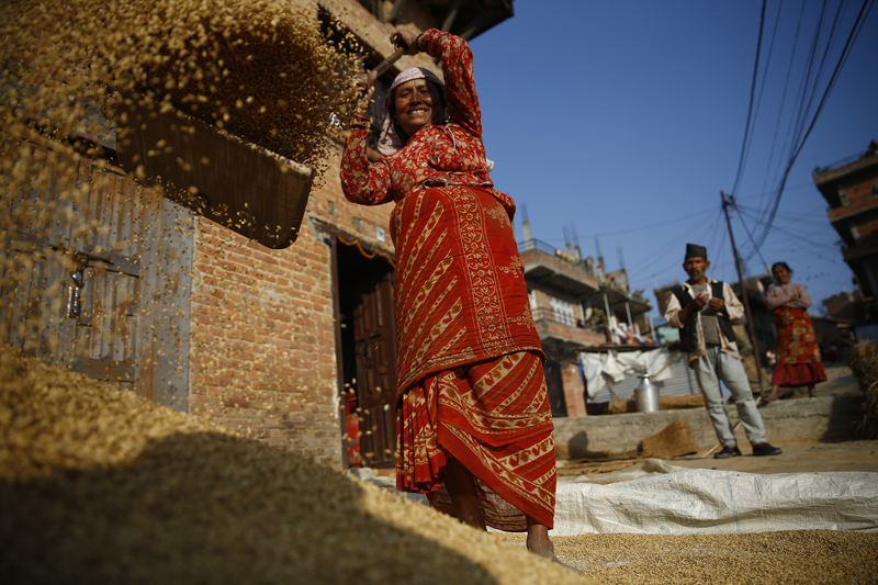 A local woman winnowing rice grains in Khokana of Lalitpur district, on Friday, December 4, 2015.  In Nepal, the economy is dominated by agriculture. Rice is important to the people and the economy of Nepal, where agriculture employs around 80% of the population and contributes 37% to the countryu2019s gross domestic product. Agricultural activities have badly affected the economy due to the earthquake which occurred earlier this year and the ongoing fuel-crisis. Photo: Skanda Gautam