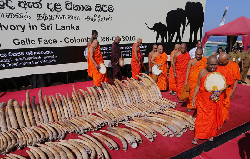 Sri Lankan Buddhist monks bless African tuskers killed by poachers for a better rebirth, as blood ivory or ivory obtained and traded illegally after poaching elephants are displayed before being destroyed in Colombo, Sri Lanka, on Tuesday, January 26, 2016. Photo: Ap