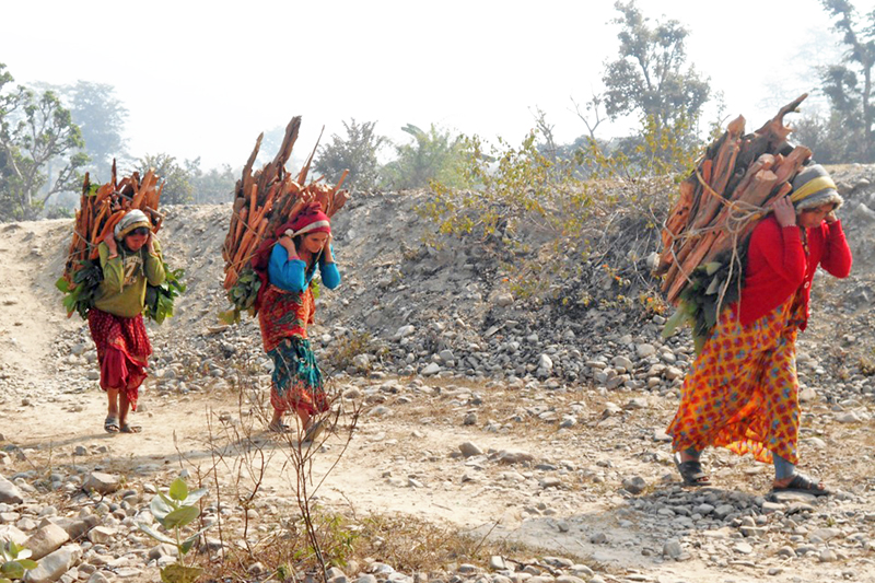 Women carrying firewood on their backs in Bhimdatta Municipality-9 of Kanchanpur district on Thursday, January 28, 2016. Photo: RSS