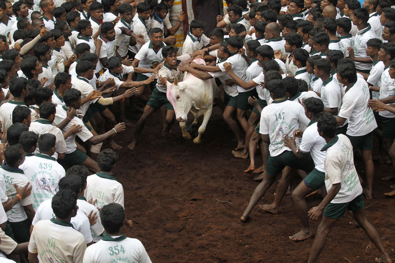 Participants try to hold on to a bull during a bull-taming sport, called Jallikattu, in Alanganallor, about 424 kilometers (264 miles) south of Chennai, India, on Thursday, January 16, 2014. Photo: AP