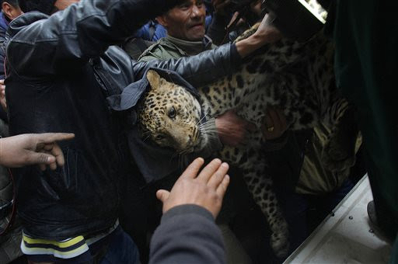 Forest department officials carry a leopard away after it was found inside a house in Kirtipur, Kathmandu, Nepal, on Friday, January 22, 2016. Photo: AP