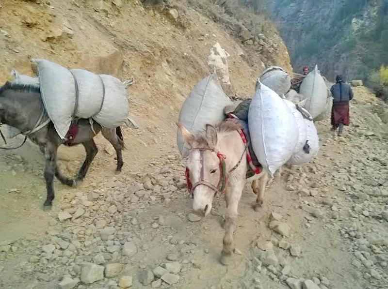 Herbs being smuggled illegally on mules and horses from Kerani through Hilsa of Humla district to China. Photo: Prakash Singh