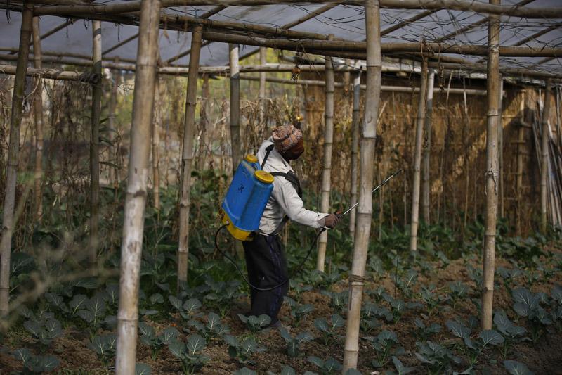 A farmer applies pesticides on his vegetable plants in Sipadol, Bhaktapur on Saturday, January 30, 2016. Photo: Skanda Gautam