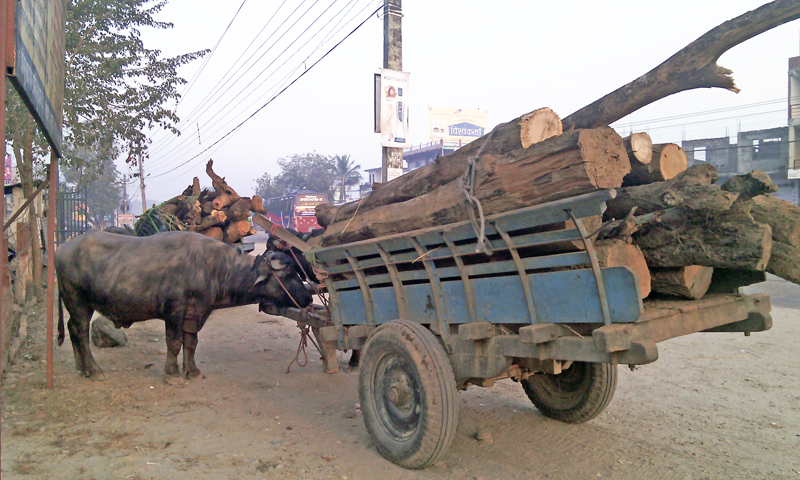 Carts laden with timbers including buffalos  were impounded for allegedly involved in smuggling from National Forest Area (NFA) of Rautahat district by Area Police Office, Chandranigahapur  at Motiyahi in Chandrapur Municipality of Rautahat on Wednesday, January 6, 2016. Photo: Prabhat Kumar Jha
