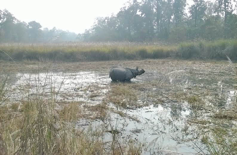 A one-horned rhino seen in wetland of the Chitwan National Park in Parsa district on Sunday, January 11 2016. Photo: Tilak Ram Rimal