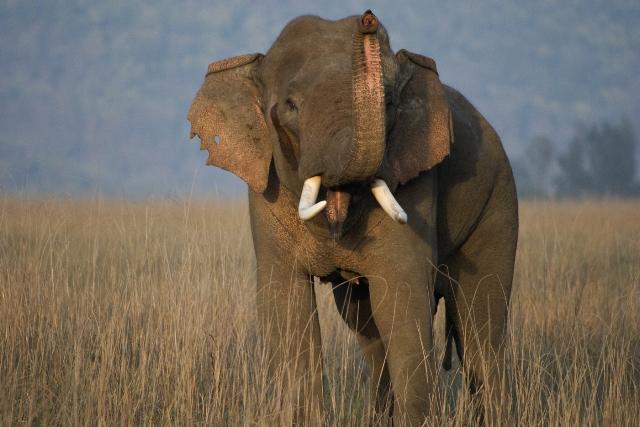 A wild Asian elephant in Chitwan National Park, Nepal. Photo Courtesy: WWF/Christy Williamsn