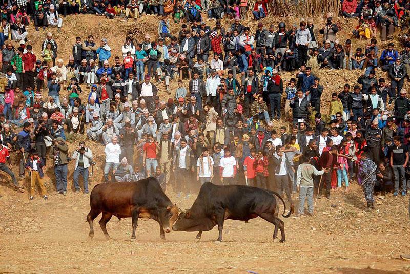 The locals watch bullfighting. Photo: Balkrishna Thapa Chhetri/THT