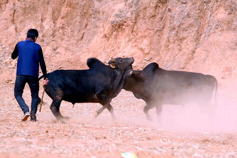 A volunteer controls the bulls. Photo: Balkrishna Thapa Chhetri