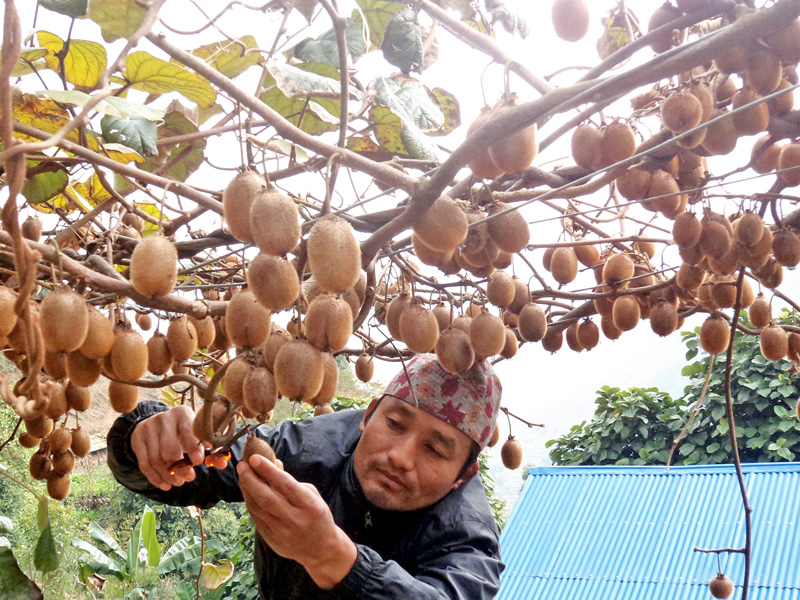 A local kiwi farmer picks the ripe fruits  in his backwayd in Phedi of Khotang district on Thursday, Januray 7, 2016. Currently, kiwis are sold for Rs 500 per kg in the local market. Photo: RSS