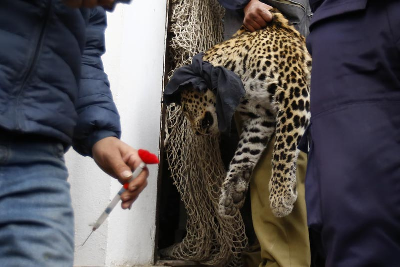 A veterinary doctor from Jawalakhel-based Central Zoo carries the sedated leopard while another official holds a tranquiliser dart on his hand at the residential house in New  Baneshwor where the wild feline entered after entering into the city, on Saturday, January 9, 2016. Photo: Skanda Gautam/THT