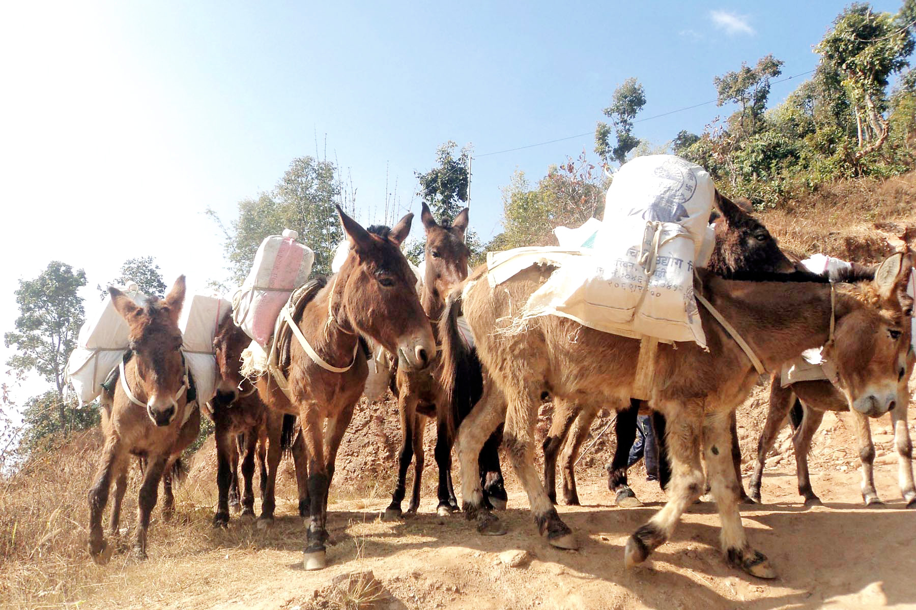 Mules are being used to carry goods from Diktel, headquarters of Khotang, to remote parts of the district, on Tuesday, January 26, 2016. Photo: RSS
