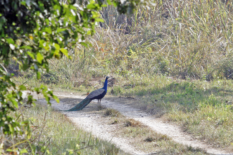 A peacock in the Chitwan National Park in Chitwan district, onTuesday,January 05, 2016. Photo: RSS