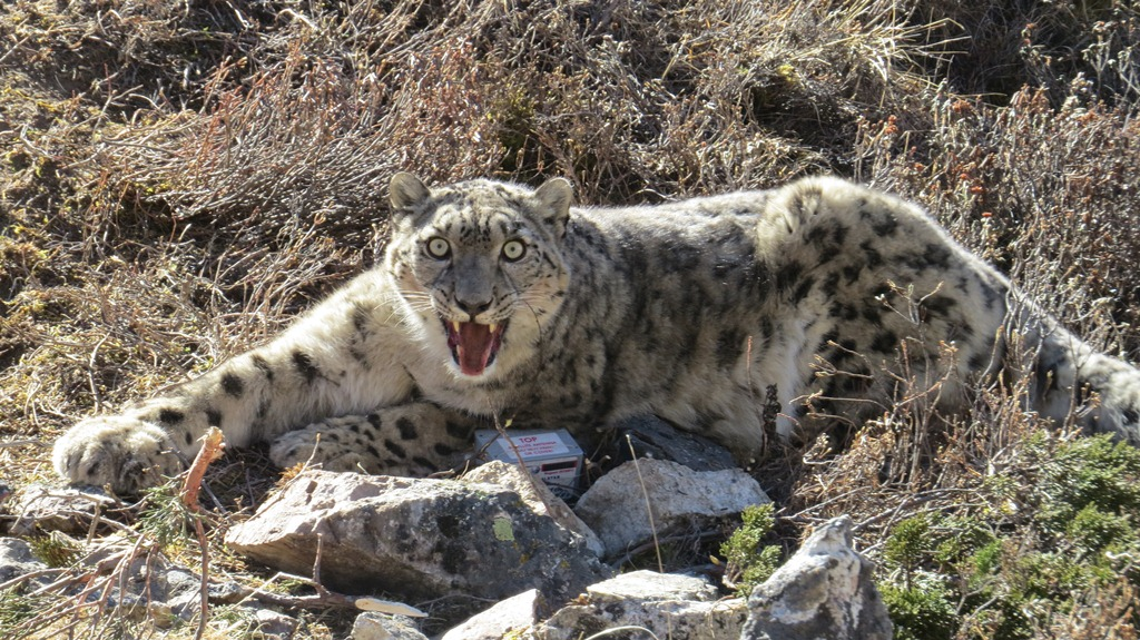 The snow leopard was captured using a modified Aldrich foot snare equipped with satellite/VHF trap transmitters, which is a tried and tested means. The snow leopard came to no harm during the capture. Photo Courtesy: Kamal Thapa / WWF Nepaln