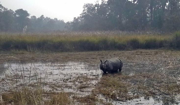 A rhinoceros is seen in a swampland in Chitwan National Park. Photo: Tilak Ram Rimal