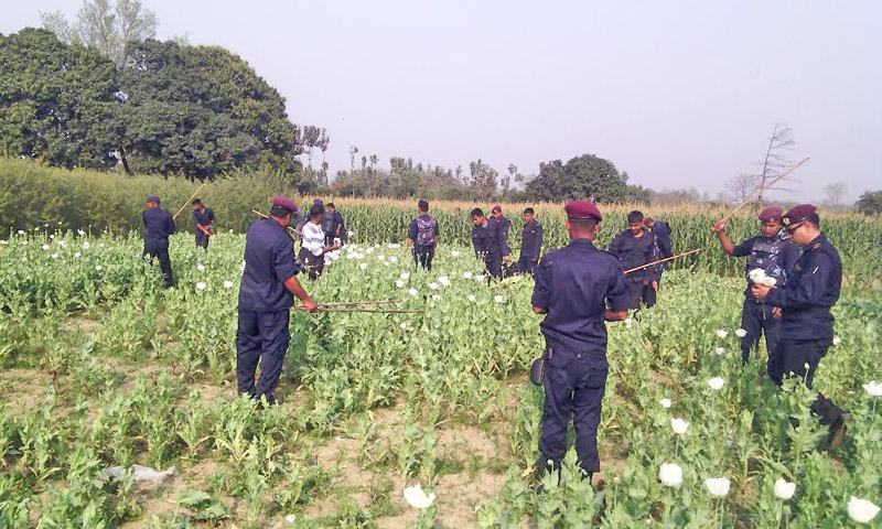 Security personnel destroying opium plants cultivated in Pipara Sagaiya Tol of Pathara Budharam VDC-9 of Rautahat district. Photo: Prabhat Kumar Jha