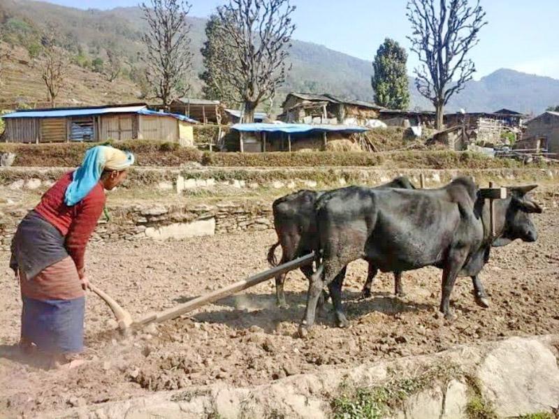 A woman ploughing a field in Darkha of Dhading district on Tuesday, February 23, 2016. Photo: Keshav Adhikari