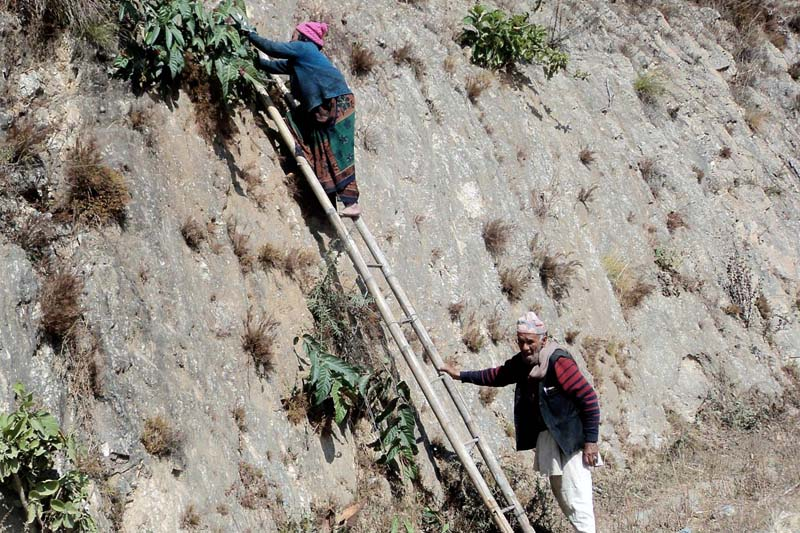 An elderly couple cutting grass with the help of a bamboo ladder in the Halesi Mahedevsthan of Western Khotang, on Tuesday, February 16, 2016. Photo: RSS