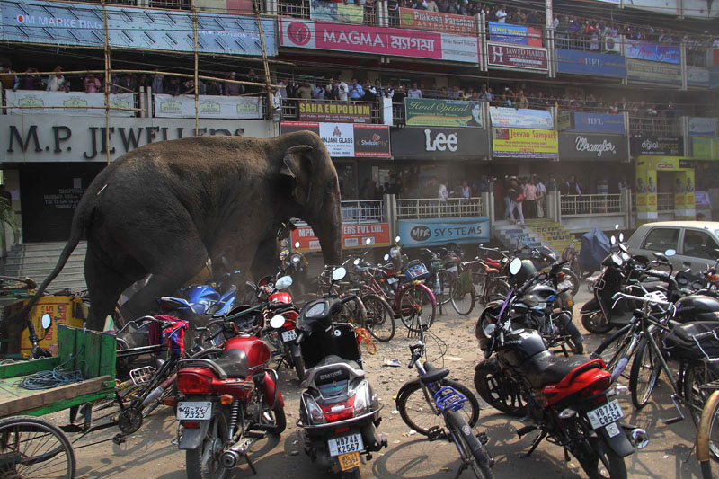 A wild elephant that strayed into the town stands after authorities shot it with a tranquilizer gun at Siliguri in West Bengal state, India, on Wednesday, February 10, 2016. Photo: AP