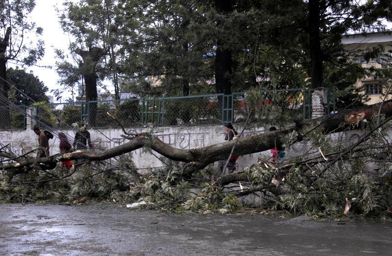 A tree falls down and blocks the road as a dust storm hit Kathmandu on Monday, March 28, 2016. Photo: Bal Krishna Thapa