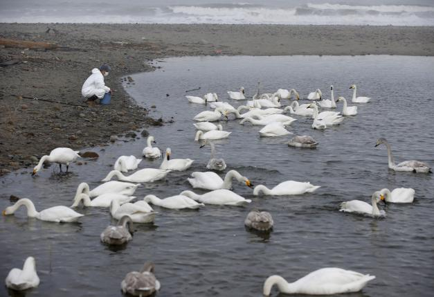 A volunteer feeds swans in an area destroyed by the March 11, 2011 tsunami inside the exclusion zone in Okuma, near Tokyo Electric Power Co's (TEPCO) tsunami-crippled Fukushima Daiichi nuclear power plant, Fukushima Prefecture, Japan, February 14, 2016. REUTERS/Toru Hanai