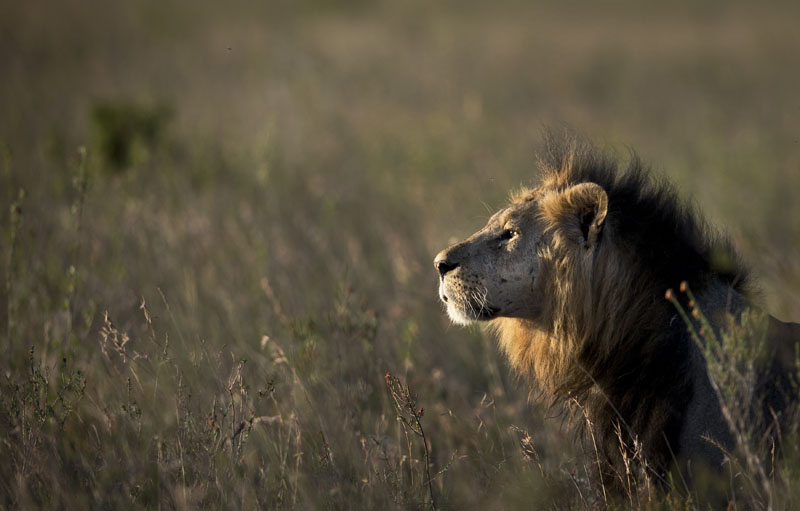 FILE - A male lion looks out over the savannah at dusk prior to being shot with a tranquilizer dart, in order to fit a GPS-tracking collar, by a team led by the Kenya Wildlife Service (KWS) in Nairobi National Park in Kenya, on Saturday, Janurary 25, 2014. Photo: AP