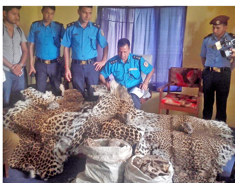 Police make public three pieces of leopard hides at the District Police Office in Kanchanpur on Monday, 04 April 2016. The hides were confiscated from Jhalari Pipladi Municipality-10 of the district. Photo: RSS