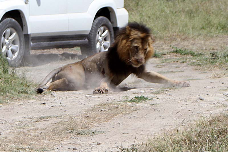 A stray male lion falls after it was shot by a Kenya Wildlife Services (KWS) ranger in the Isinya area of Kajiado county after it attacked and injured a local resident on outskirts of the capital Nairobi, Kenya on March 30, 2016. Photo: Reuters