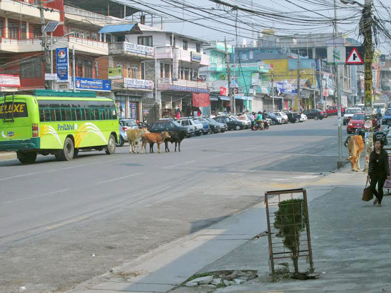 Stray cattle causing trouble to pedestrians and vehicles at New Road of Pokhara in Kaski district on Friday April 01, 2016. Photo: Rishi Ram Baral