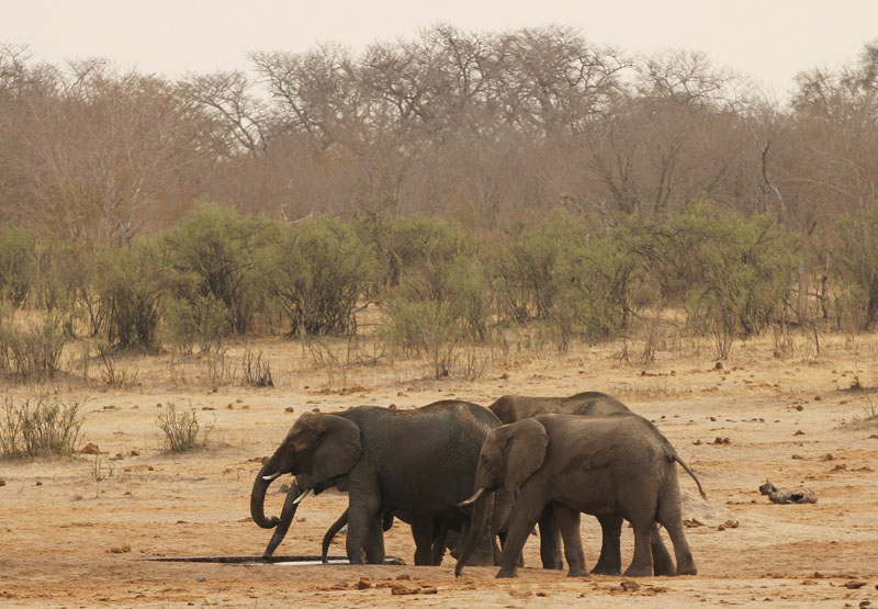 A herd of elephants walk at a watering hole in Hwange National Park in Zimbabwe, on September 29, 2015. Photo:Philimon Bulawayo/Reuters
