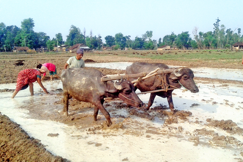 Farmers at Ranipur of Kanchanpur district in far-western Nepal preparing to plant paddy saplings as the rainy season approaches, on Friday, May 20, 2016. Photo: RSS