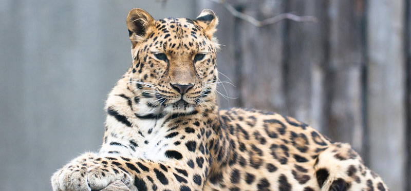 Amur leopard is the most critically endangered big cat. They are hunted largely for its beautiful, spotted fur, the loss of each Amur leopard puts the species on the list of critically endangered wild animals. Photo courtesy: WWF