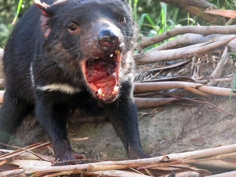 A Tasmanian devil roars in a zoo at Tasman Peninsula, Tasmania state, Australia, on Monday, April 18, 2016. Photo: Rod McGuirk/AP