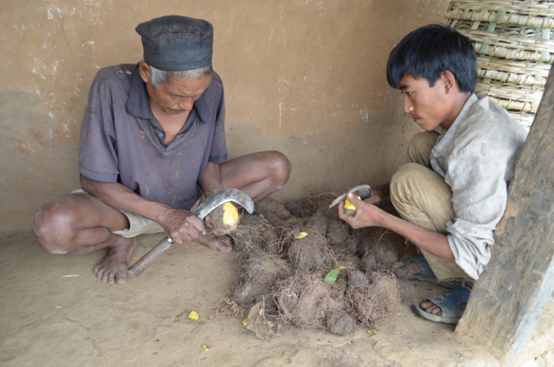 Two members of a Chepang community in Brusbang of Dhading prepare wild yams to cook, in May 2016. They are currently living under an acute food shortage. Photo: Keshav Adhikari