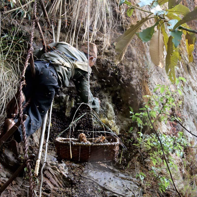 Honey hunter Ram Singh Gurung (aka Rumba) extracting honey on a steep hill during the annual Siurung Festival, in Siurung, on Monday, May 02, 2016. Photo: Ramji Rana/ THT