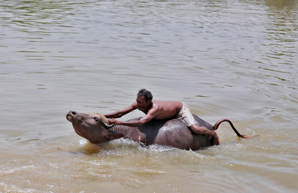 A shepherd tries to control his buffalo in a pond on a hot summer day on the outskirts of Ahmedabad, India May 18, 2016. REUTERS/Amit Dave