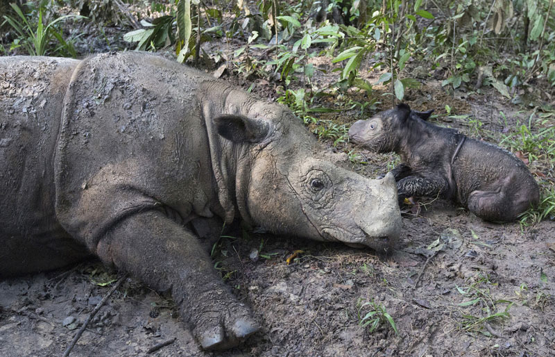 Ratu, a 14-year-old Sumatran rhinoceros, sits next to its newborn calf at Sumatran Rhino Sanctuary in Way Kambas National Park, Indonesia, on Thursday, May 12, 2016. Ratu has given birth at the sanctuary in a success for efforts to save the critically endangered species. Photo: Stephen Belcher/Canon/International Rhino Foundation (IRF)/YABI via AP